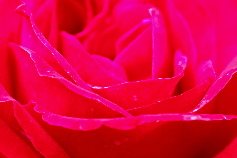 Rose is the Red