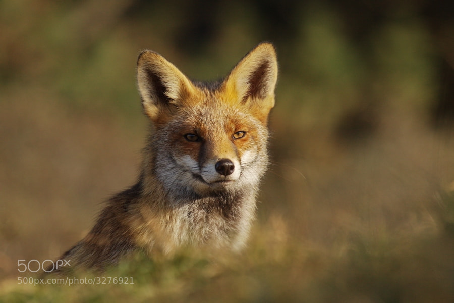 Photograph Lovely fox by ColindavanderFlier on 500px