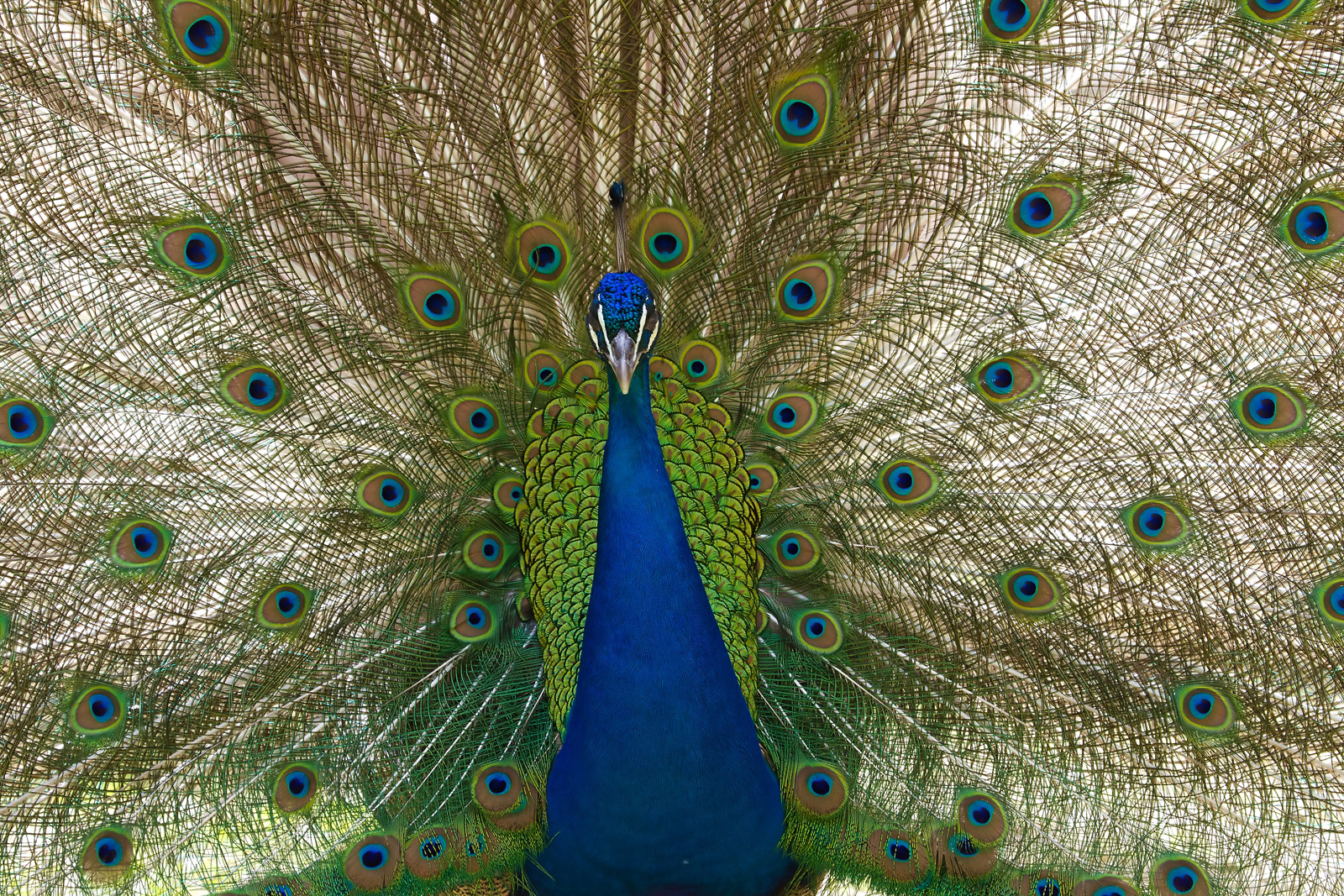 Photograph Peacock's tail by Giovanni Giuliani on 500px