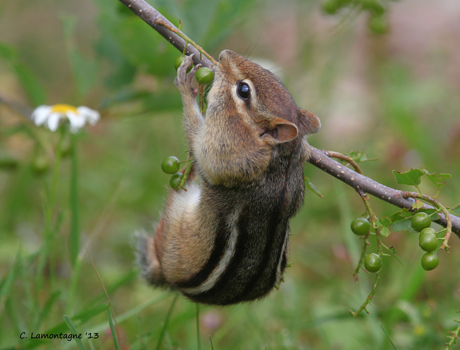 Eastern Chipmunk hanging from a low lying branch and stuffing his cheeks with berries.