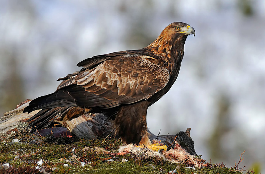 Golden Eagle on the remains of an Arctic Hare. Shot taken from a wooden hide in the mountains of Flatanger, Norway.