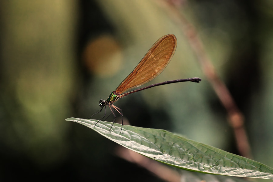 dragonfly by Ivan Lee on 500px