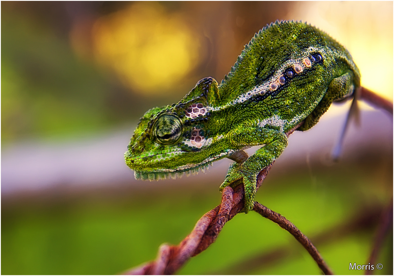 Photograph Cape Dwarf Chameleon  by Dave Morris on 500px