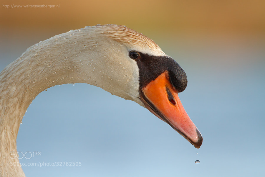 Photograph Mute Swan with drops by Walter Soestbergen on 500px