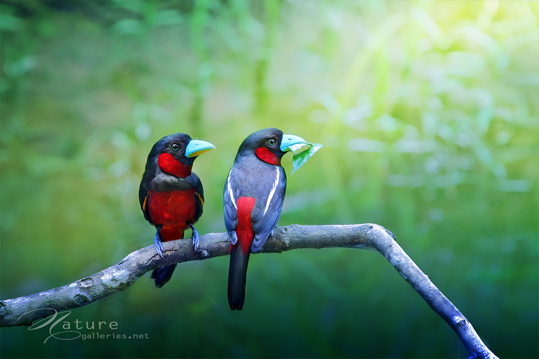 Photograph BLACK AND RED BROADBILL by Sasi - smit on 500px