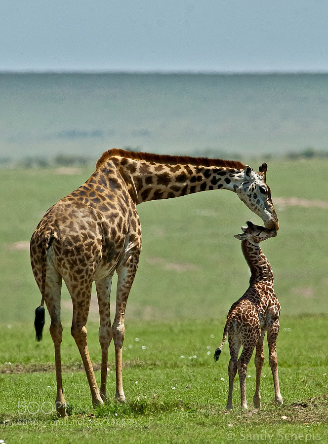Photograph A kiss for the little one by Sandy Schepis on 500px