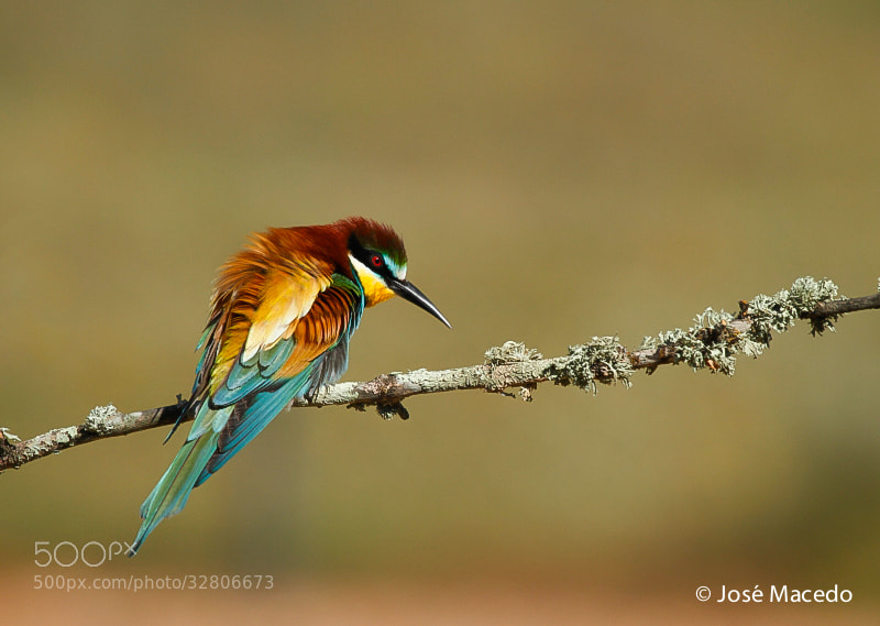 Photograph Merops apiaster by José Macedo on 500px