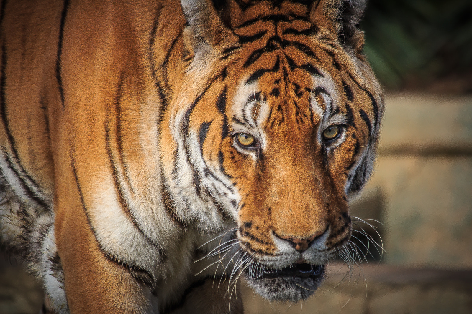 Photograph Tiger portrait by Donato Romagnuolo on 500px