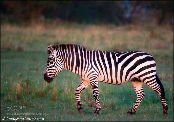 Zebra (Maasai Mara, Kenya)