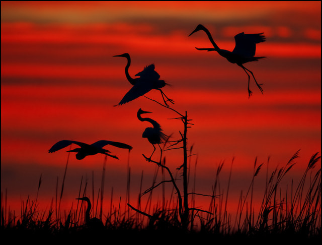 Photograph Great Egrets + Great Blue Heron by Kevin Fleming on 500px