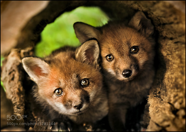 Photograph Red Fox Kits by Kevin Fleming on 500px