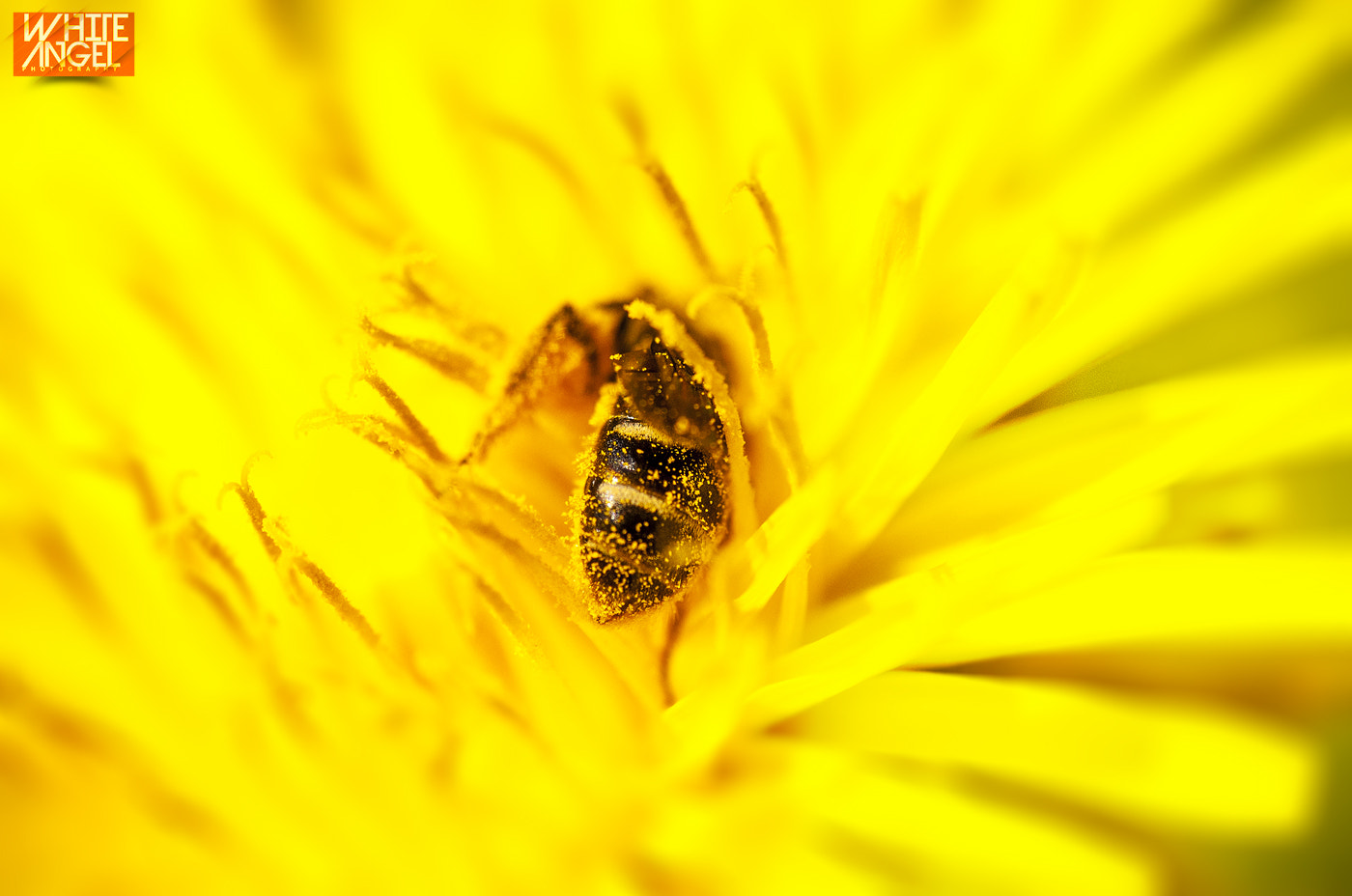 Photograph Bee by WHITE ANGEL PHOTOGRAPHY on 500px