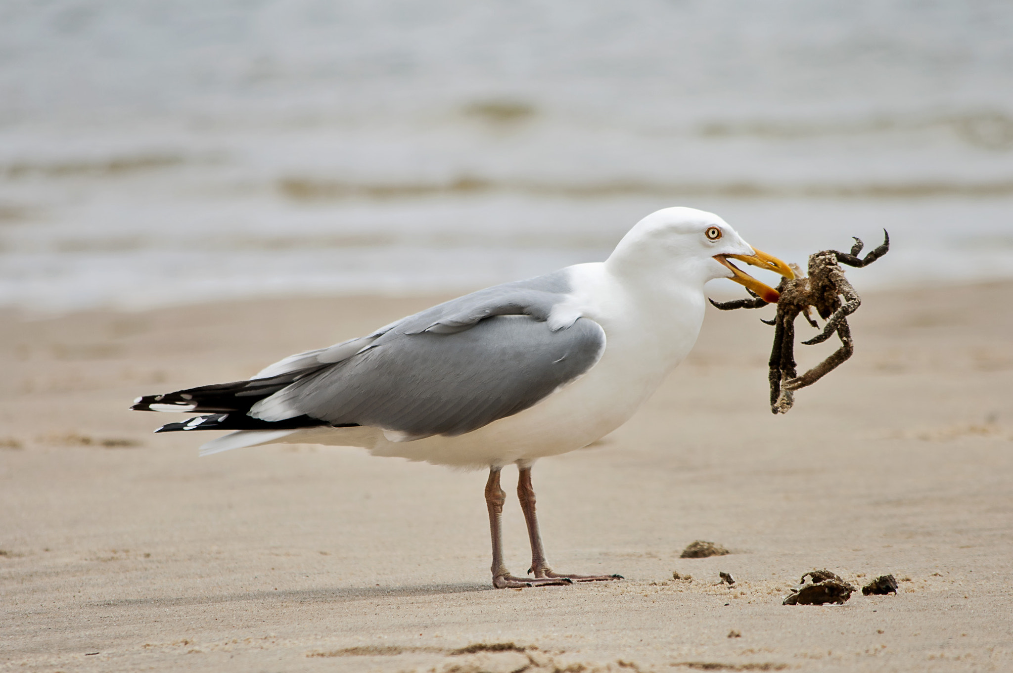 Photograph Seagull Lunching by Heather Conley on 500px