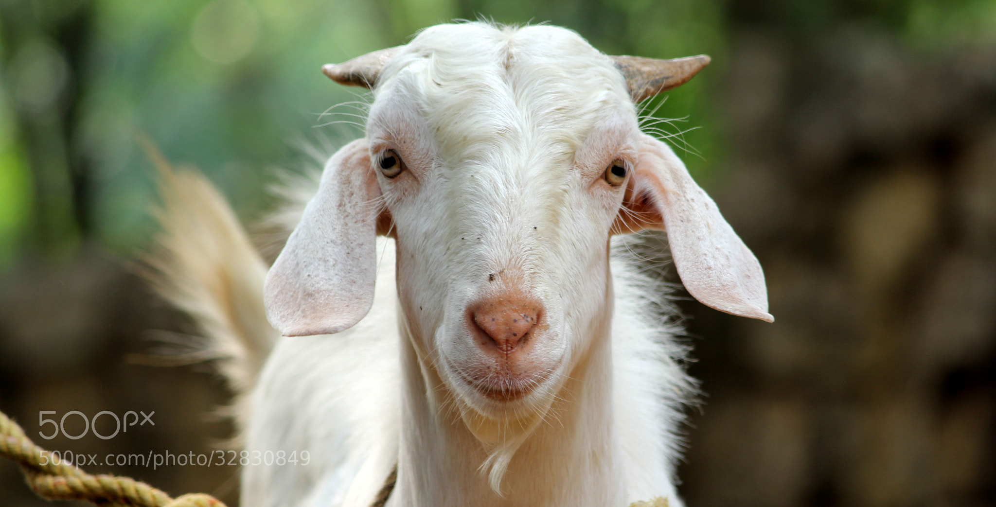 Photograph Goat by Ajith Kumar on 500px