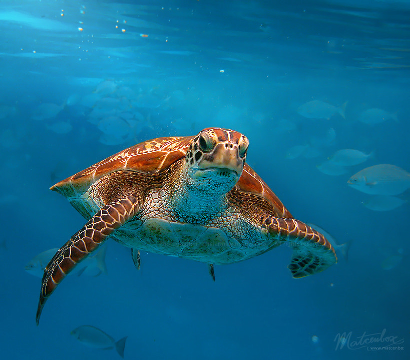 Photograph turtle swimming by Matcenbox  on 500px