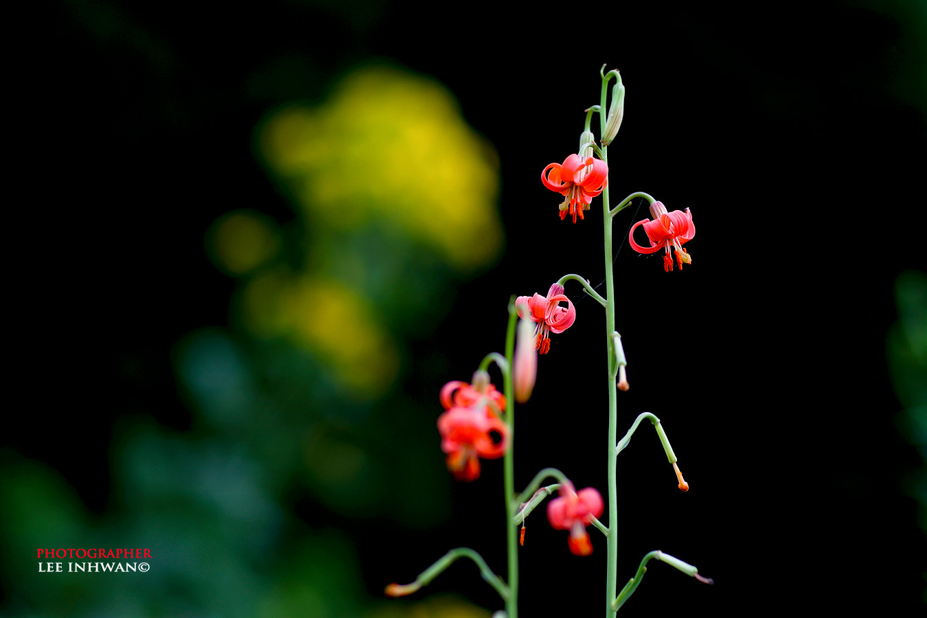 Photograph Slimstem lily by LEE INHWAN on 500px