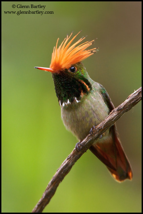 Photograph Rufous-crested Coquette (Lophornis delattrei) by Glenn Bartley on 500px
