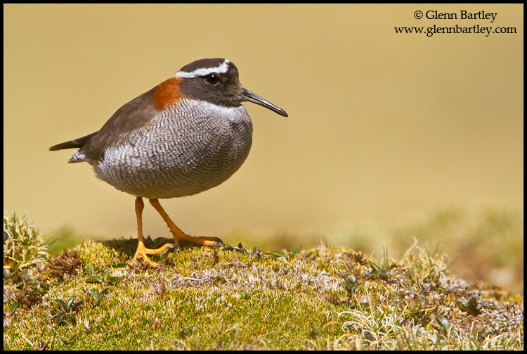 Photograph Diademed Sandpiper-Plover (Phegornis mitchellii) by Glenn Bartley on 500px
