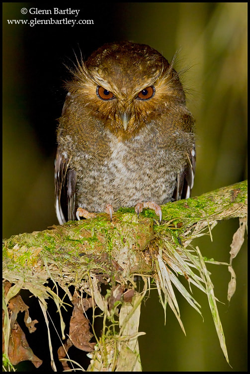 Photograph Long-whiskered Owlet (Xenoglaux loweryi) by Glenn Bartley on 500px