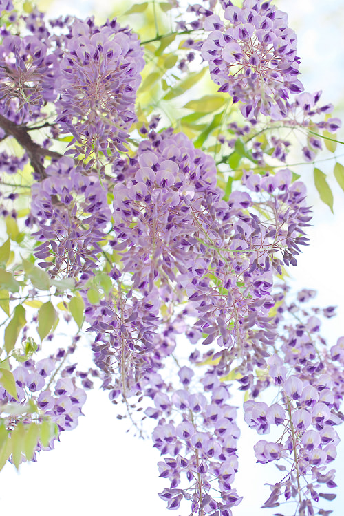 Photograph Wisteria by AI  OGISO on 500px