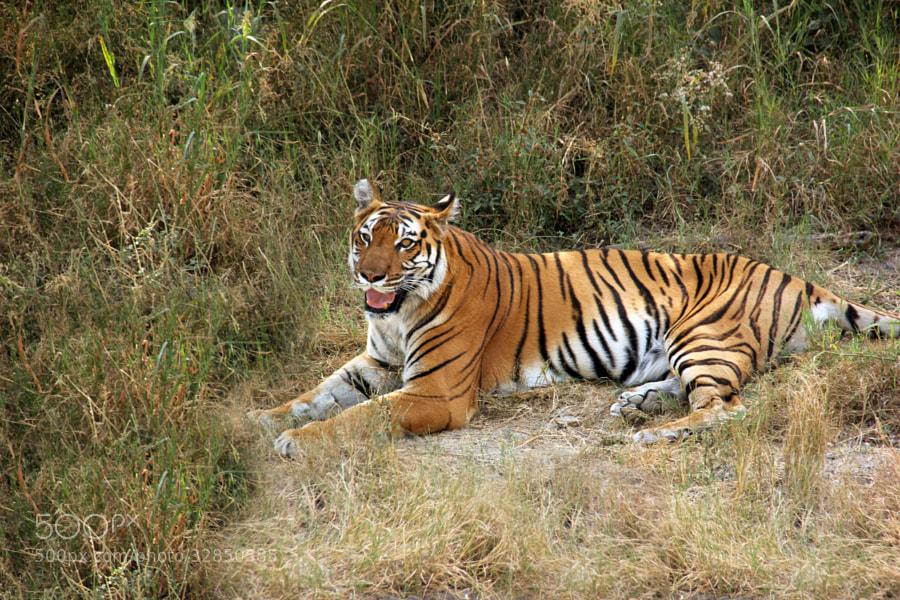 royal bengal tiger by Shubhendu Bikash Mazumder (ShubhenduBikashMazumder)) on 500px.com