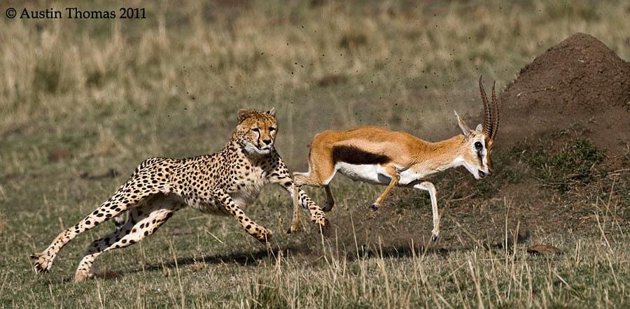 Cheetah chasing Gazelle...