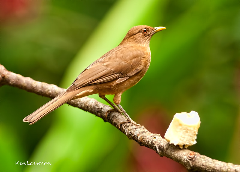 Sometimes called a Thrush...this is the National Bird of Costa Rica