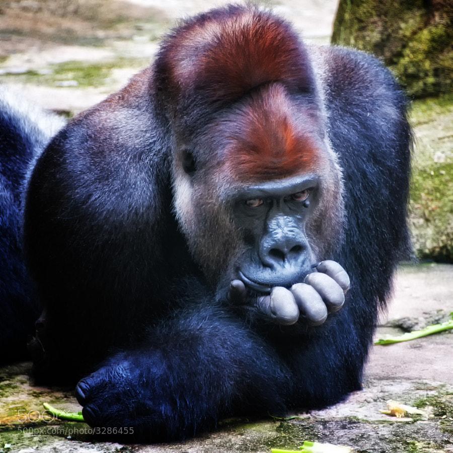 Silverback gorilla, Cincinnati Zoo and Botanical Gardens