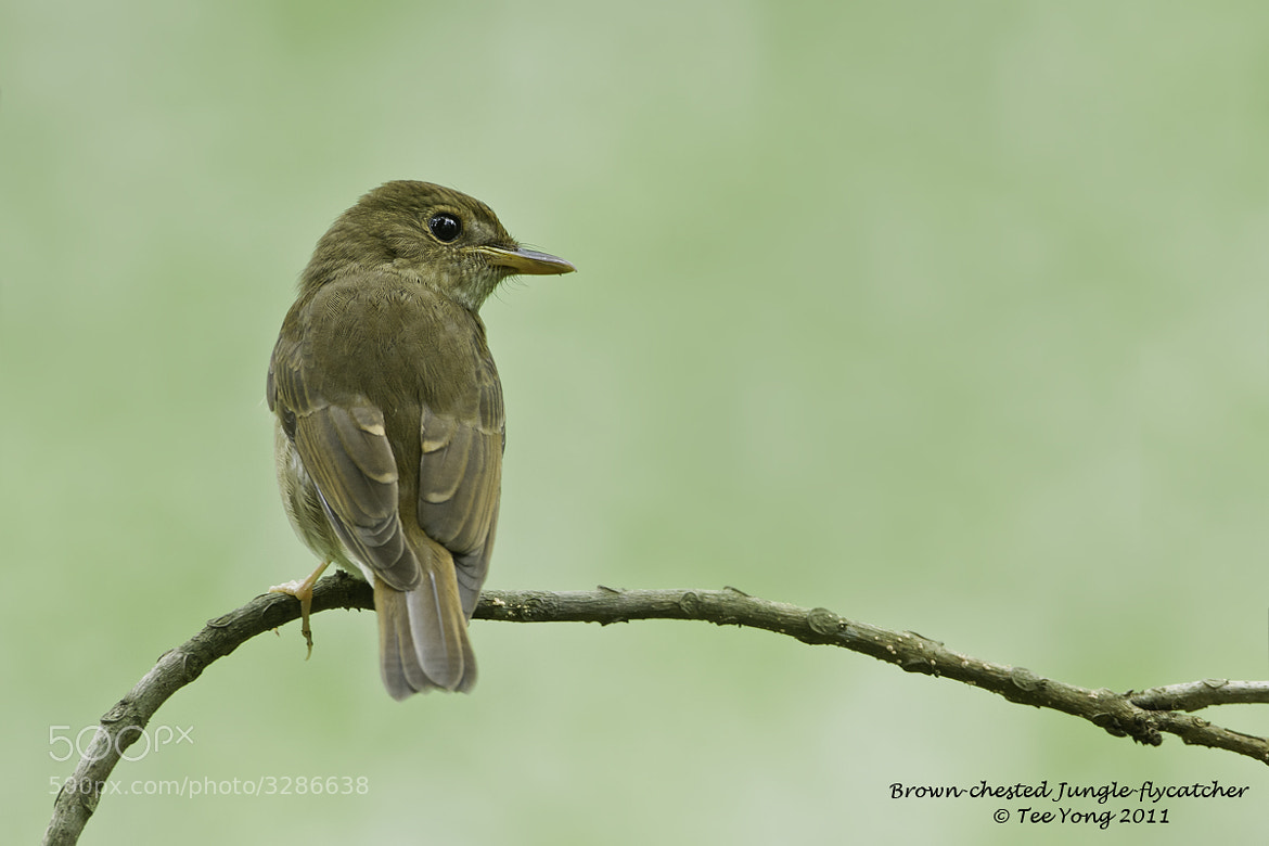 Photograph Brown-chested Jungle Flycatcher by TeeYong on 500px