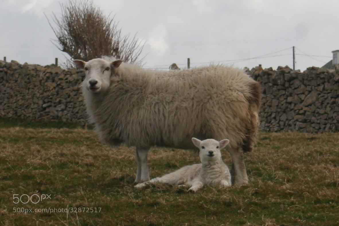 Photograph Sheep & Lamb by Gabe Ison on 500px