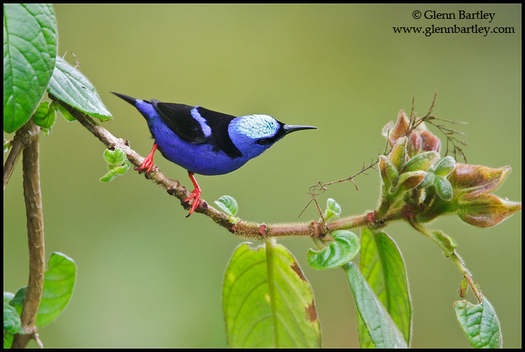 Photograph Red-legged Honeycreeper (Cyanerpes cyaneus) by Glenn Bartley on 500px