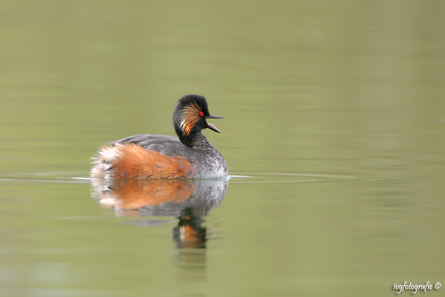 Photograph Black-necked Grebe by Ivonne van Gool on 500px