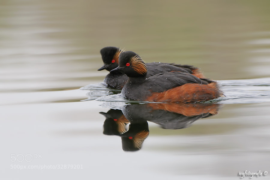 Photograph Black-necked Grebes by Ivonne van Gool on 500px