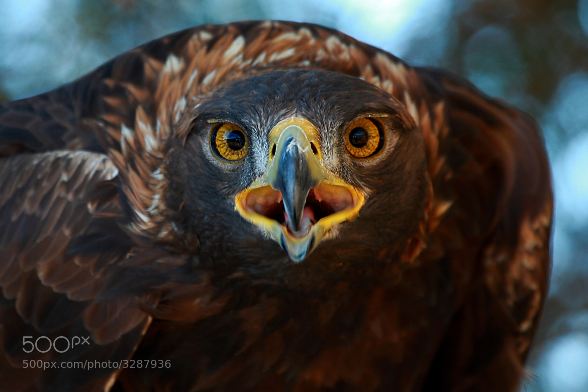 Photograph Golden Eyes! by Alex  Thomson on 500px