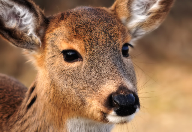 Photograph Doe Eyes by Linda Karlin on 500px