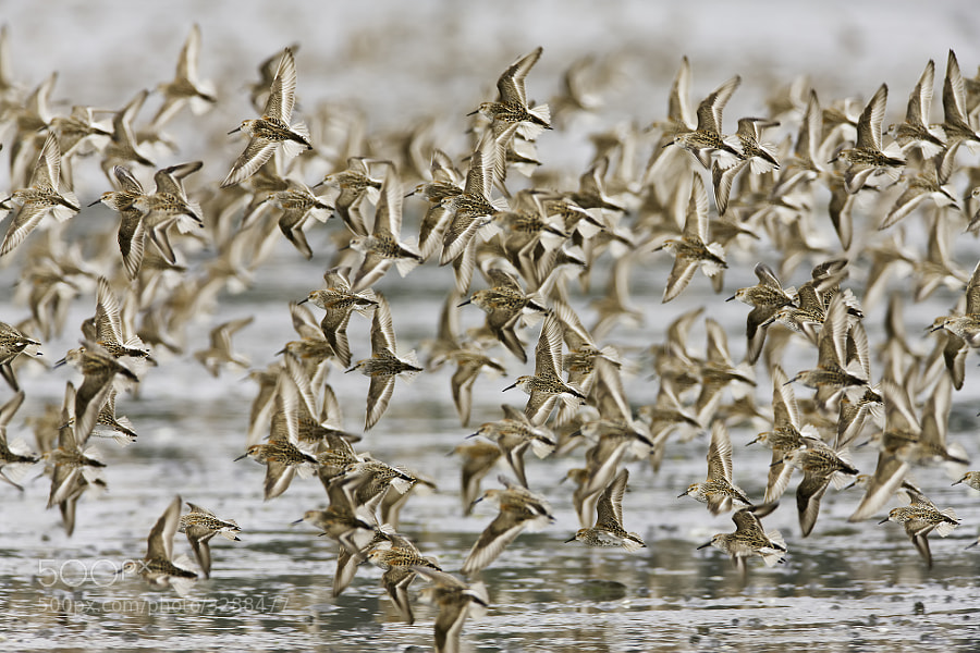Photograph Western Sandpipers by Ray Bulson on 500px