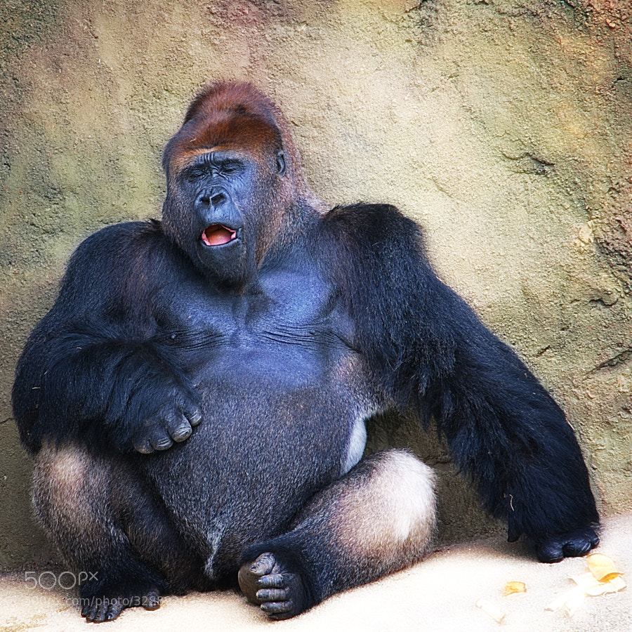 Miami Zoo Gorilla