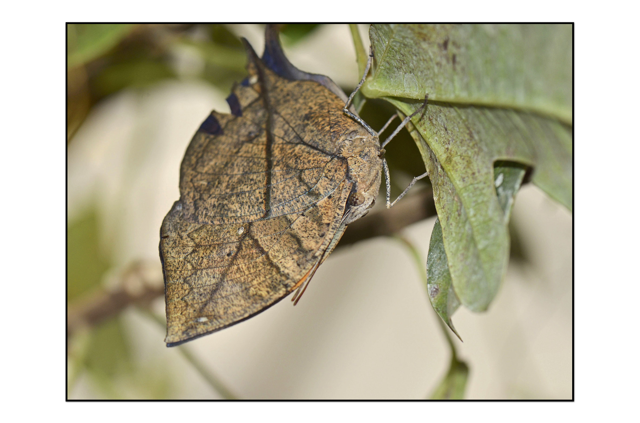 Photograph Indian Dead Leaf by Angella Parker on 500px