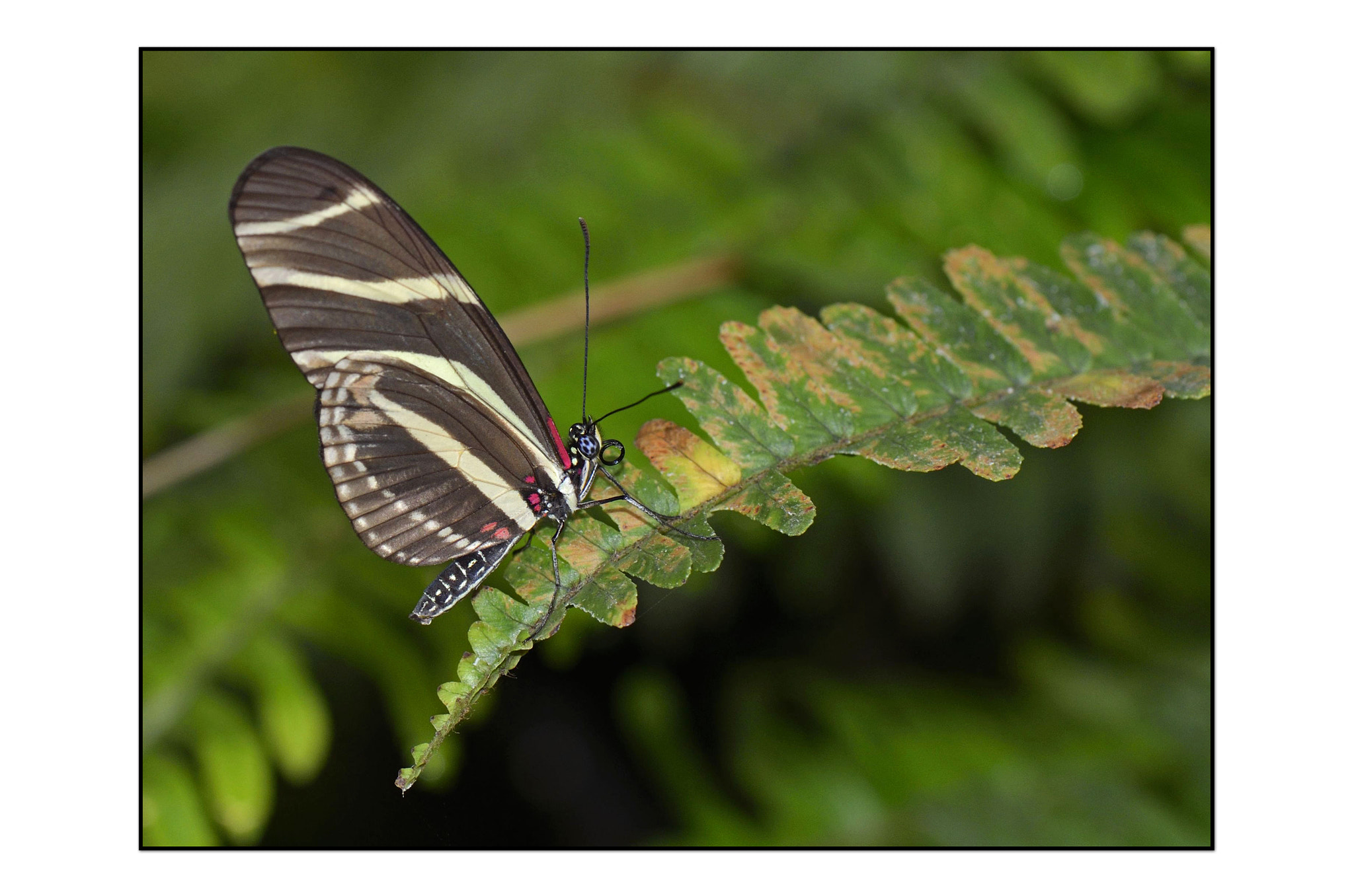 Photograph Zebra Longwing by Angella Parker on 500px