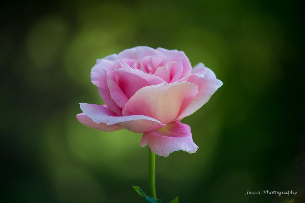 Photograph Rose by Jean Li on 500px