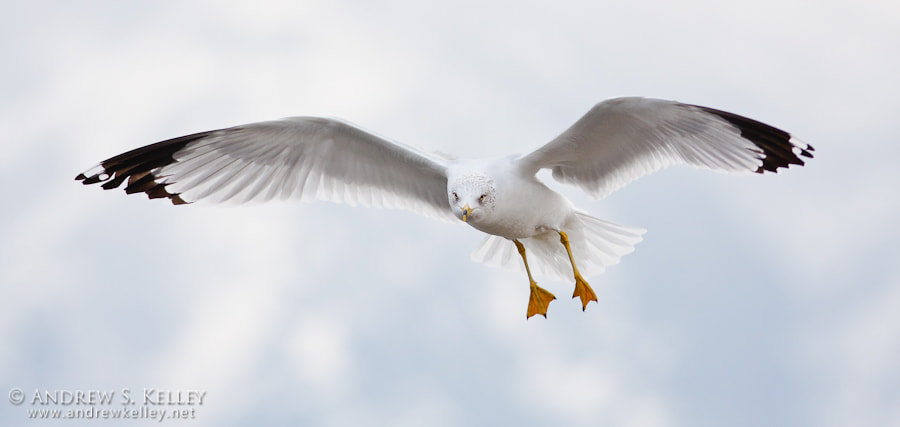 Photograph Ring-Billed Gull by Andrew Kelley on 500px