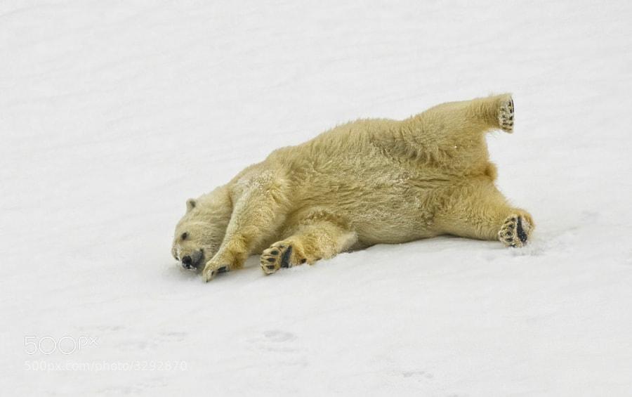 A young Polar Bear enjoys a great slide, Svalbard, Norway