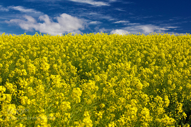 Photograph A field of Yellow by Guido Merkelbach on 500px
