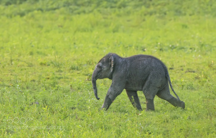 A young asian Elephant moves with a purpose (mum was not far behind) across the plains of Kaziringha, India