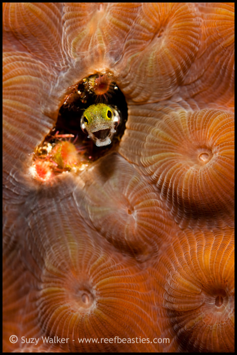 Photograph Blenny! by Suzy Walker-Toye on 500px