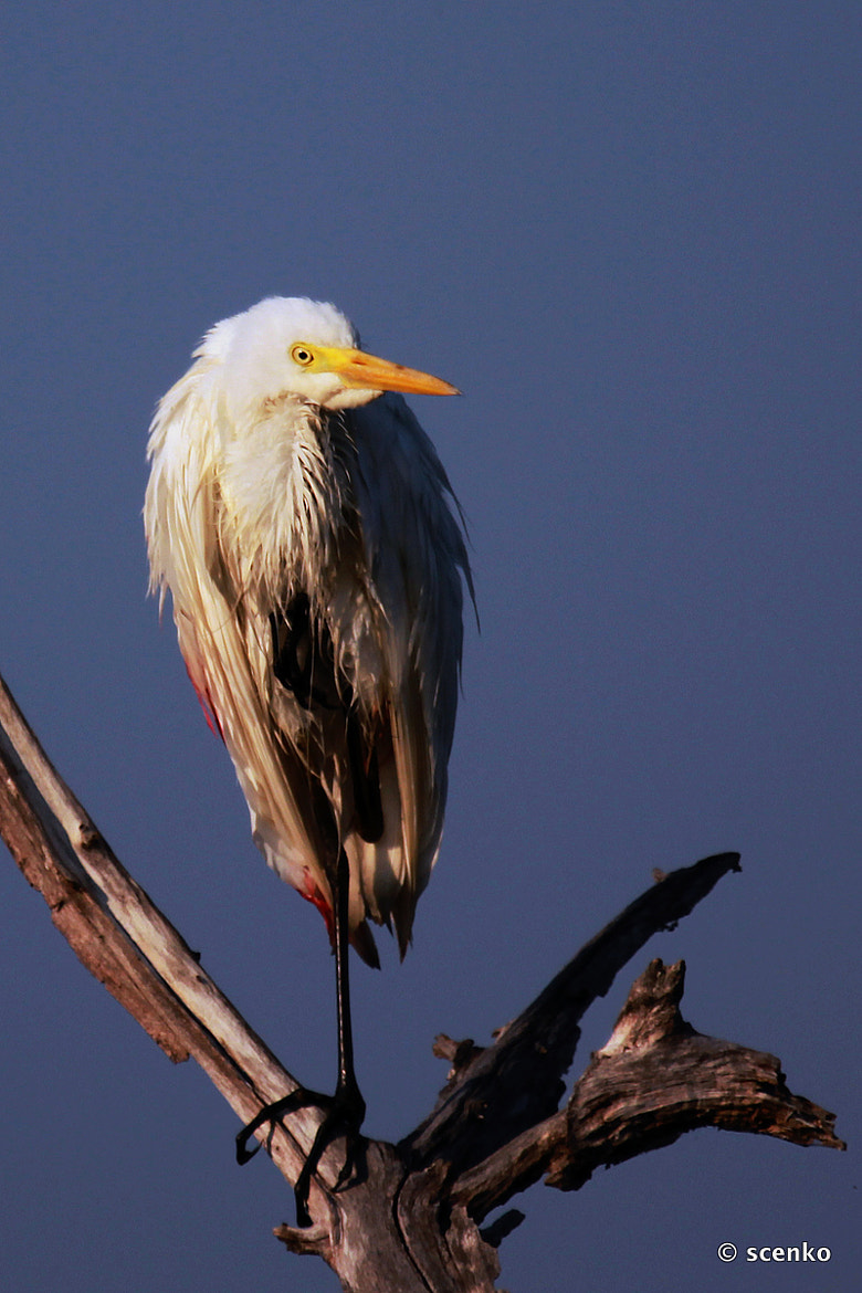 Photograph Cattle Egret by © Scenko on 500px