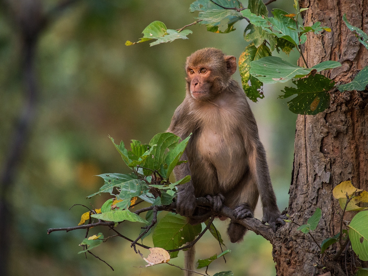 Photograph Rhesus macaque by Stefan Cruysberghs on 500px