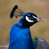 Peacock Portrait | Clive Walkden Photographer