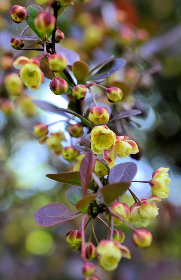Photograph Barberry by Heather Aplin on 500px
