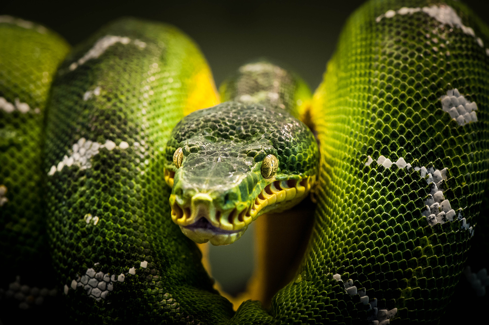 Photograph Snake by Justin Lo on 500px